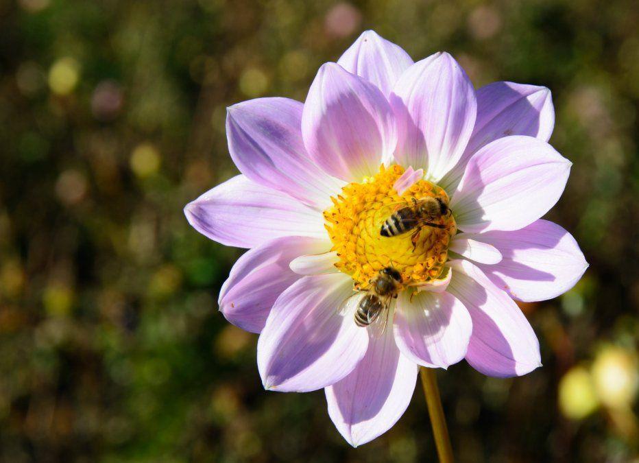 ¿Cuál es la relación entre abejas y una posible extinción de la humanidad?